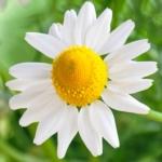 画像、カモミールの花